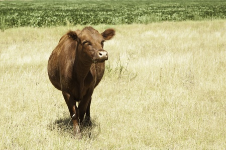 Cow portrait in prairie