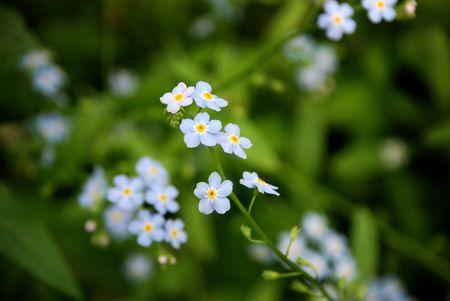 Blue mini Flowers  Stock Photo