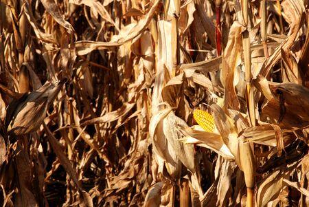 autumn Corn Field  Stock Photo