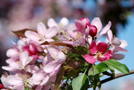 Pink and white appletree flowers in spring season