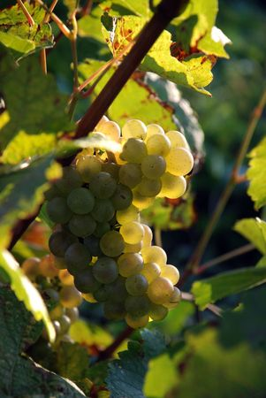 Grapes in a vineyard ready for harness