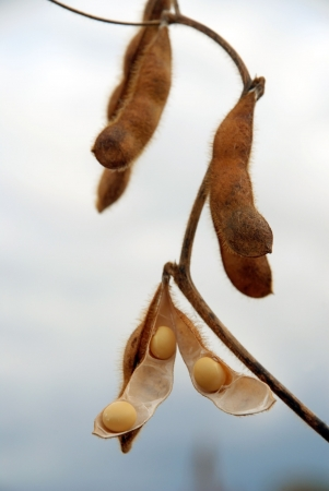 green bean: soybean pod in a field ready to be picked