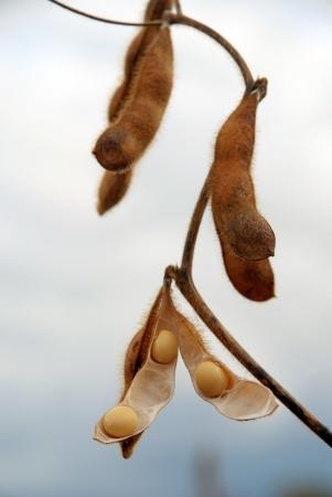 leche de soya: vainas de soja en un campo listo para ser recogidos