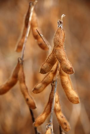soybean pod in a field ready to be picked