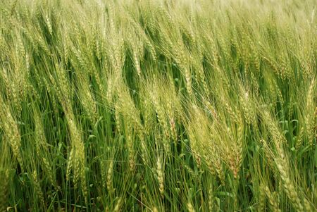 wind in the green wheatfield at middle summer photo