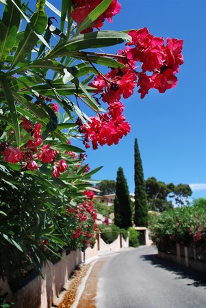 red laurel flowers along the street in Mediterranean town  Stock Photo