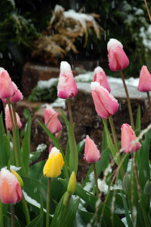 Pink and yellow tulip under snow photo