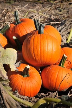 citrouille: la r�colte dans un champ de citrouilles � l'automne au d�but
