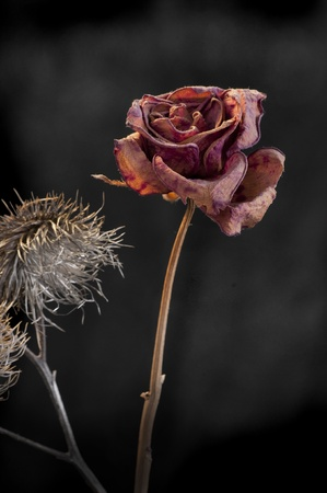 wilting: A wilting rose and thistle signifies lost love, divorce, duality Stock Photo