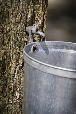 Droplet of sap flowing from the maple tree into a pail for make pure maple syrup