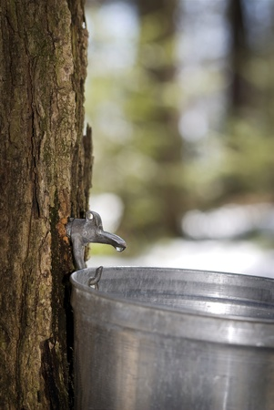 syrup: Droplet of sap flowing from the maple tree into a pail for make pure maple syrup