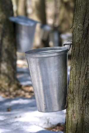 Droplet of sap flowing from the maple tree into a pail for make pure maple syrup photo