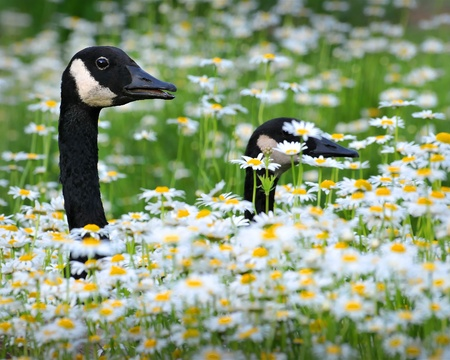 Canadian geese walking through a field of daisies and white chrysanthemums