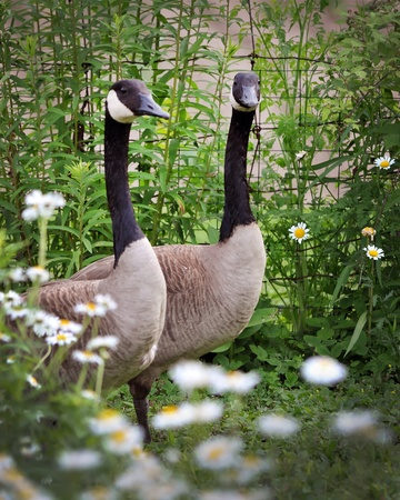 water fowl: Canadian geeses walking through a field of daisies and white chrysanthemums Stock Photo