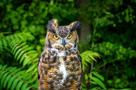 A piercing gaze of an eagle owl approaching the forest