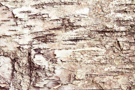 Bark of birch tree texture photo