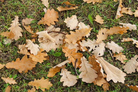 Yellow oak leaves on the grass photo