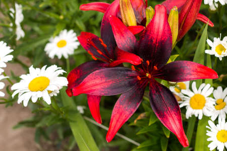 Tiger lily with daisies. Lily flower close-up.