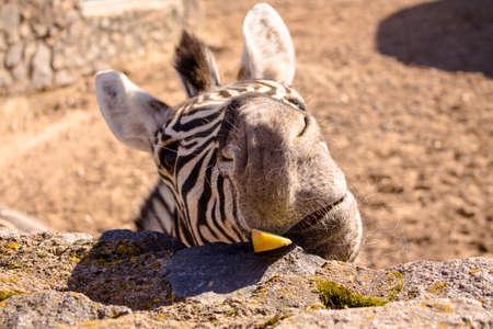 Zebra with a funny face. Zebra eat fruit. Zebra hairy muzzle. Macro photo. Фото со стока