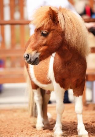 ponies: Brow miniature horse  Outdoors Stock Photo