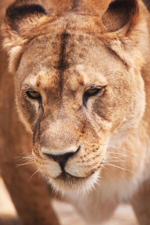 Closeup  portrait of lioness  Outdoors photo