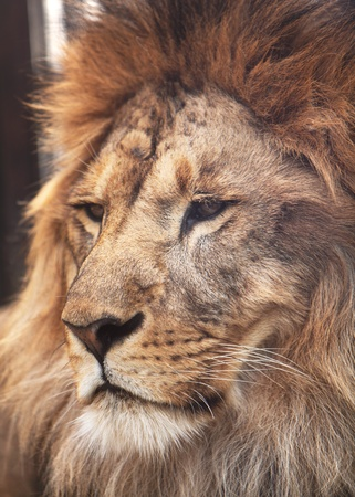 Portrait of calm lion  Closeup photo