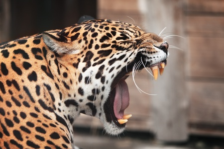leopard: Roaring leopard Portrait  of wild animal Stock Photo