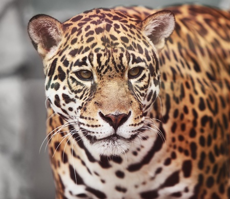 blotched: Panthera onca  Portrait  of wild animal Stock Photo