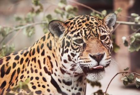 onca: Panthera, onca  Portrait  of wild animal