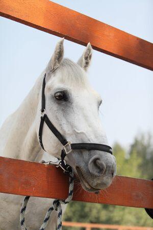 Portrait of white horse  Outdoors Stock Photo - 16263209
