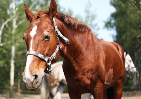 Portrait of ginger horse in farm  Outdoors Stock Photo - 16263207