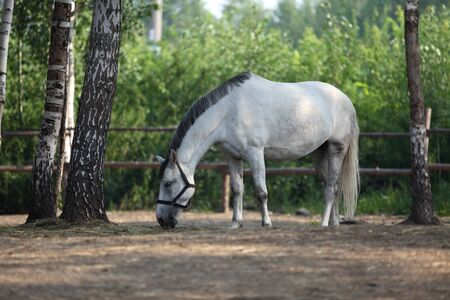 masticate: White horse eats plant, in farm. Outdoors