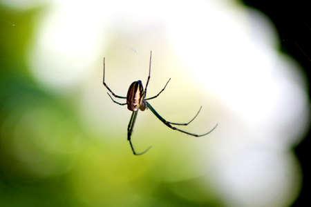 aracnidos: Granulata Leucauge o Silver Orb ara�a destacan contra el fondo de contraste de luz