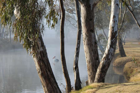 aloneness: Pelican through trees and the Early Morning Mist of the Condomine River