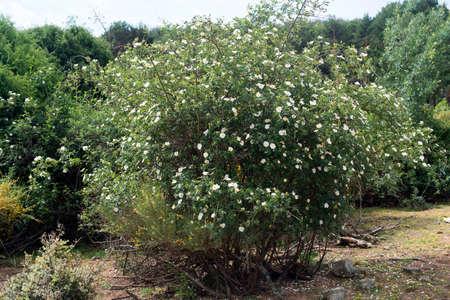 vivo: Wild rose of the Monte Cabeza Mediana, in Becerril de la Sierra.