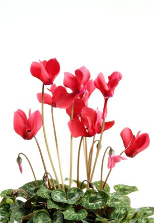gentleness: red cyclamen flower pot isolated