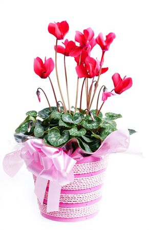 Red cyclamen flower decroation