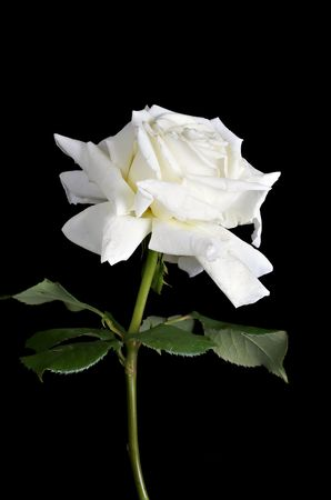 with white: white rose on black background