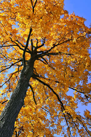 Backlit Autumn Oak Tree Stock Photo - 2031975