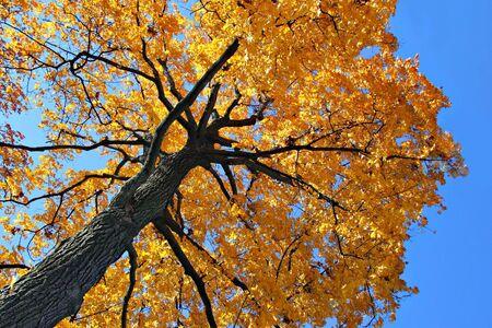 Autumn Oak Tree From Under Stock Photo - 2031974