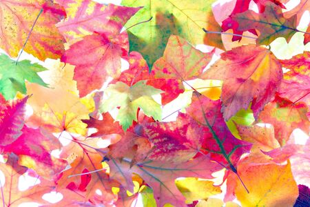 Backlit Colorful Autum Leaves Pattern Background Stock Photo - 2037751