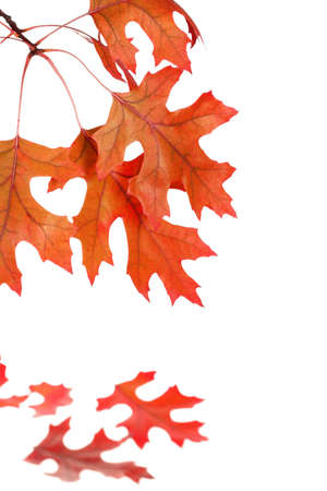 Autumn Oak Tree Leaf Pattern Isolated Stock Photo - 2037748