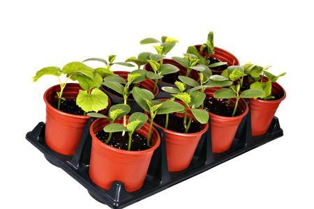 seed pots: Vegetable Nursery Pot Isolated Stock Photo