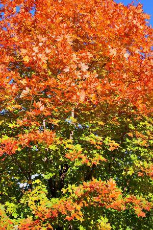 Autumn Maple Tree Foliage as Background Stock Photo - 3212314