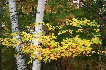 Colorful Autum Birch Tree Branch Closeup photo