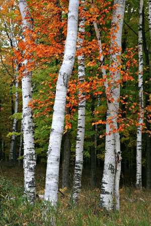 Colorful Aspen Birch Tree in the wildness photo