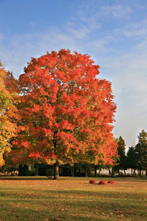 Big Colorful Backyard Maple Tree under Blue Sky  Stock Photo - 3698297