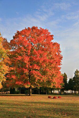 Big Colorful Backyard Maple Tree under Blue Sky Stock Photo - 3698297