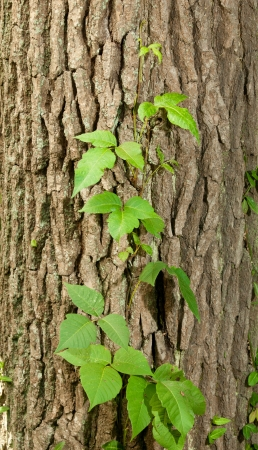 Three Leaf Poison Ivy Growing on Oak Tree Trunk Imagens
