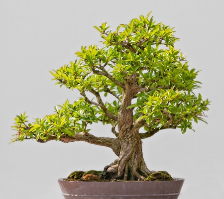 Japanese Evergreen Bonsai on Display grey background photo